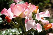 Rosas en Madrid.
